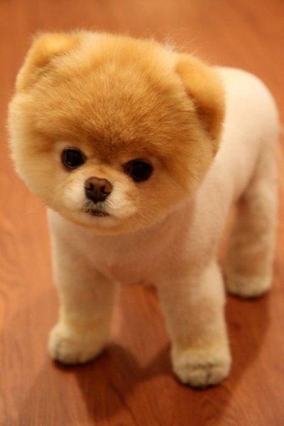 Бу - самая популярная собака на Facebook