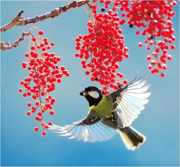 Райские пташки